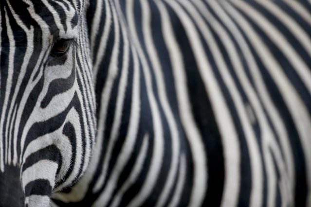 """A zebra stands inside her enclosure at the """"eco-park"""" in Buenos Aires, Argentina on August 7, 2018. The zoo was inaugurated in 1875 on what was then a quiet patch on the outskirts of Buenos Aires. (Photo by Natacha Pisarenko/AP Photo)"""