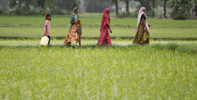 Farmers walk through a paddy field at Bhat village on the outskirts of Ahmedabad July 30, 2012. (Photo by Amit Dave/Reuters)