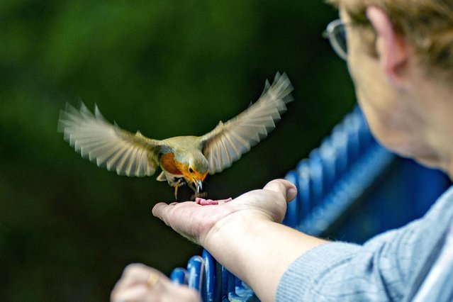 A lady hand feeds a wild robin at Sefton Park in Liverpool, United Kingdom on Thursday, September 2, 2021. (Photo by Peter Byrne/PA Images via Getty Images)