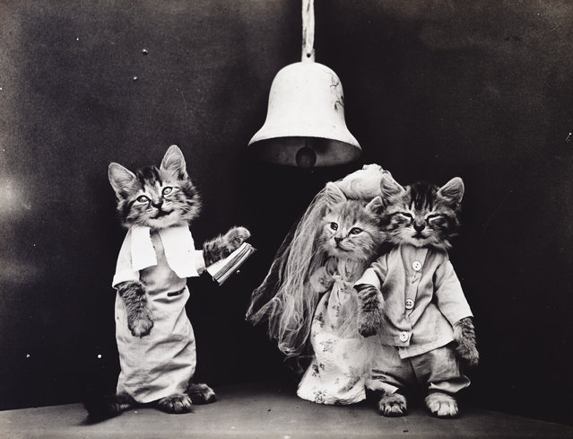 Photograph shows two kittens wearing clothes getting married, 1914. (Photo by Harry Whittier Frees/Library of Congress)