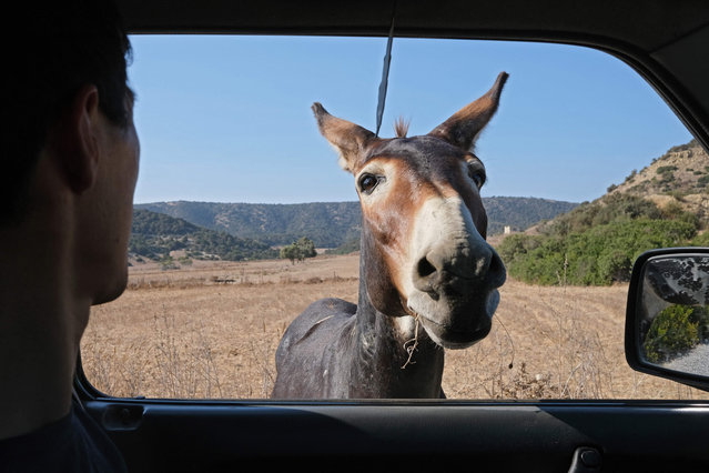 A donkey approaches a passenger in a vehicle along a road in the northern part of Cyprus' northern Karpas peninsula on September 1, 2021. (Photo by Amir Makar/AFP Photo)