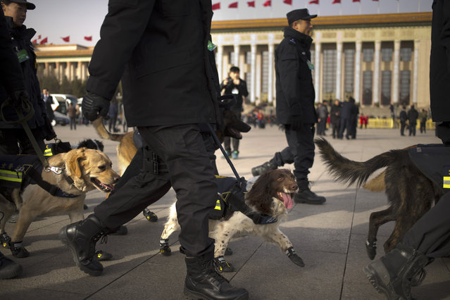 In this Saturday, March 5, 2016 photo, Chinese policemen walk with sniffer dogs near the Great Hall of the People where the opening session of the National People's Congress (NPC) is held in Beijing. Security during the meeting is ratcheted up nationwide, but especially in Beijing, where out of town petitioners are cleared out and paramilitary guards are posted throughout city. Saturday's opening session at the Great Hall of the People in the heart of Beijing was swathed in multiple layers of security, starting with bag checks in the subway and an additional checkpoint just to look onto the square. (Photo by Mark Schiefelbein/AP Photo)