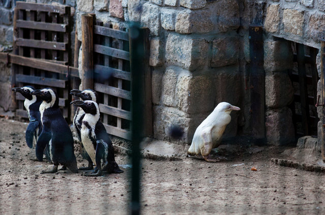 A juvenile albino penguin is presented to the public for the first time at the Gdansk Zoo in Gdansk, Poland, March 22, 2019. (Photo by Michal Ryniak/Agencja Gazeta via Reuters)