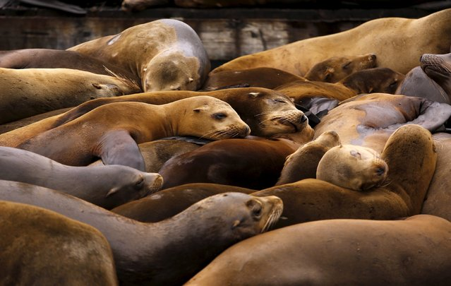 Sea lions sleep on a floating dock at Pier 39 in San Francisco, California May 4, 2015. (Photo by Robert Galbraith/Reuters)
