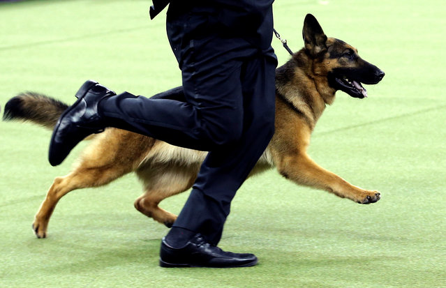 Rumor, a German shepherd and winner of Best In Show at the 141st Westminster Kennel Club Dog Show, is run by Handler Kent Boyles during the final judging at Madison Square Garden in New York City, U.S., February 14, 2017. (Photo by Mike Segar/Reuters)