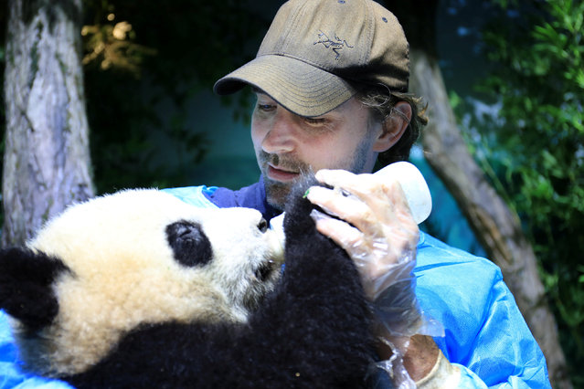 """Actor Lee Pace feeds a giant panda baby at Chengdu Research Base of Giant Panda Breeding as he visits the base and is awarded as the """"Chengdu Pambassador"""" in Chengdu, Sichuan province, China, February 21, 2017. (Photo by Reuters/China Daily)"""