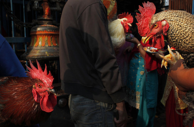 """Nepalese devotees hold sacrificial chickens as they wait in a queue to enter the """"Balkumari"""" temple during Sindoor Jatra festival in Bhaktapur, Nepal, Thursday, April 14, 2016. Devotees mark the festival by playing traditional drums, singing, dancing and carrying chariot of various deities around town while throwing vermillion powder to welcome the advent of spring and the New Year. (Photo by Niranjan Shrestha/AP Photo)"""