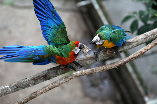 Two macaws fight for a chicken head at Vittorio Poggi's house outside Caracas, Venezuela, June 18, 2019. (Photo by Manaure Quintero/Reuters)