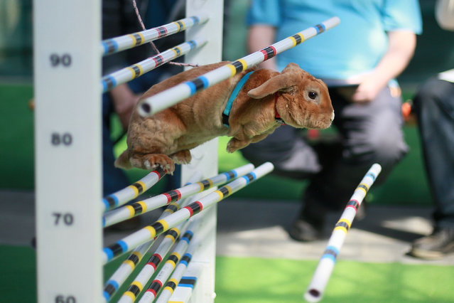 A rabbit fails to jump over an obstacle during a rabbit track and field competition on the sidelines of a hunting exhibition in Kromeriz, about 60 km east of Prague, on April 1, 2017. Circa 100 rabbits took part in the competition, including disciplines as long jump, high jump and running on a flat track. (Photo by  Radek Mica/AFP Photo)