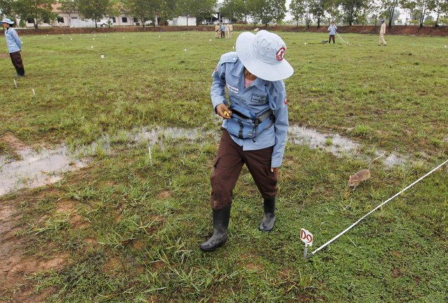 A rat undergoing training to detect mines follows a member of the Cambodian Mine Action Centre (CMAC) during a training session on an inactive landmine field in Siem Reap province July 9, 2015. (Photo by Samrang Pring/Reuters)