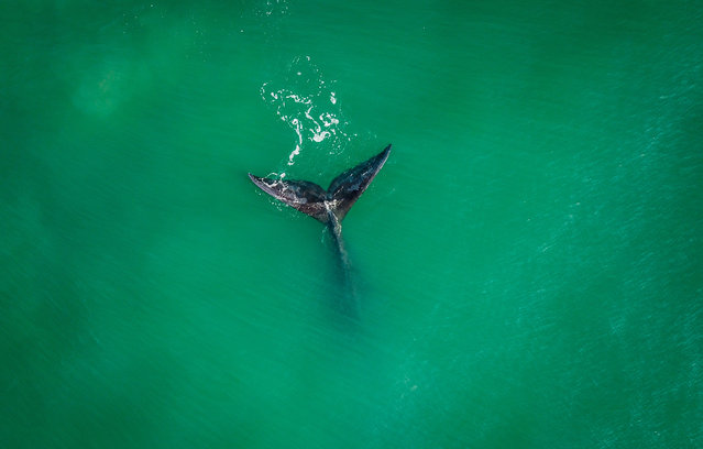 A Southern Right Whale (Eubalaena australis) is seen at Ribanceira Beach, Imbituba, Santa Catarina state, Brazil on July 09, 2019. The Southern Right Whale is coming from Antartica in this time of the year. (Photo by Eduardo Valente/AFP Photo)