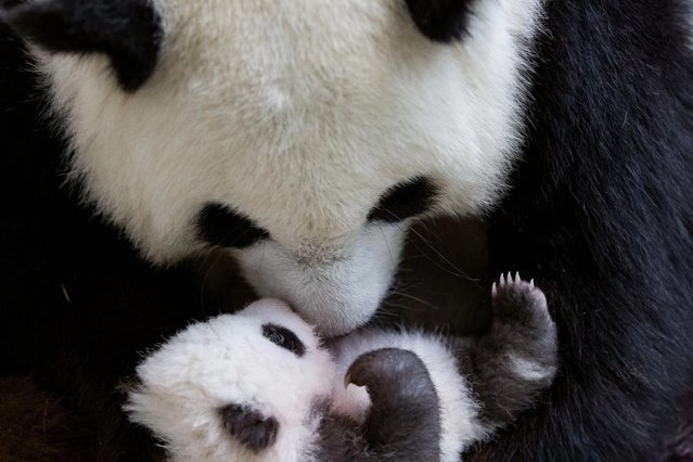 A handout picture made available by Berlin Zoo shows one of two Panda cubs with the mother Meng Meng in Berlin, Germany, 30 October 2019. Two baby pandas were born by mother Meng Meng on 31 August 2019 at the Berlin Zoo. The cubs are the first Pandas to be born in Germany. (Photo by Berlin Zoo/EPA/EFE)