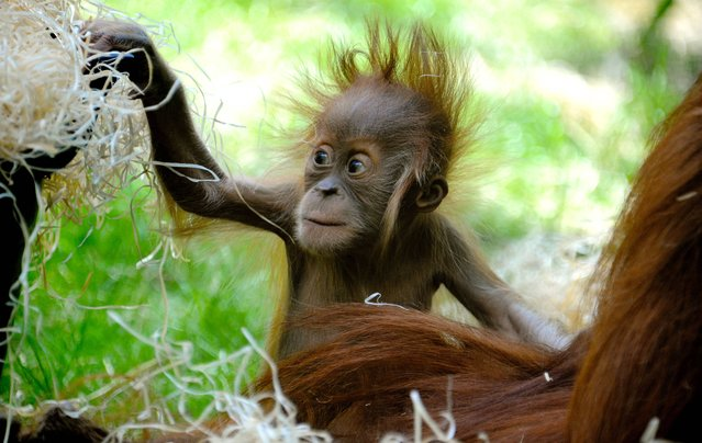 Four month-old female orangutan Olivia plays with wood wool during warm and sunny weather in their enclosure at the Hellabrunn zoo in Munich, southern Germany, Thursday, June 12, 2014. (Photo by Rebecca Krizak/AP Photo/DPA)