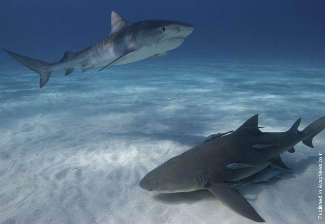 Two kinds of sharks - a juvenile tiger shark (Galeocerdo cuvier) and a lemon shark (Negaprion brevirostris)