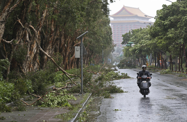 A scooter passes a line of trees brought down by strong winds from Typhoon Soudelor in Taipei, Taiwan, Saturday, August 8, 2015. (Photo by Wally Santana/AP Photo)