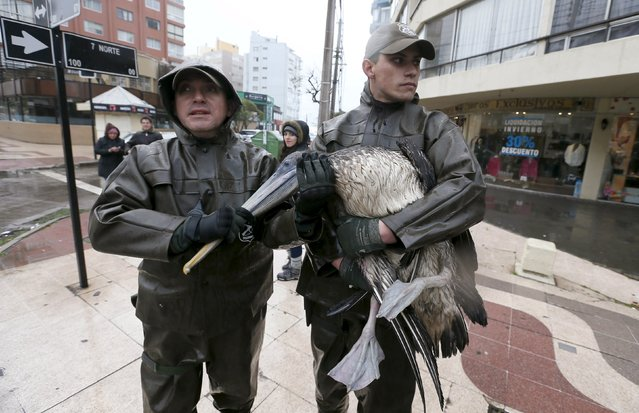 Police officers hold a pelican wounded in one wing caused by a heavy storm along the coastline in Vina del Mar August 8, 2015. Large parts of Chile, including the city of Vina del Mar, have seen torrential rains, with heavy wind and rain expected throughout the weekend. The severe weather has left three dead, according to local media. (Photo by Rodrigo Garrido/Reuters)
