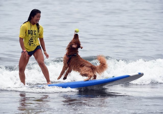 Bell (R) catches a ball next to owner Nao Omura as they ride on a wave during the animal surfing portion of the Mabo Royal Kj Cup surfing contest at Tsujido beach in Fujisawa, Kanagawa prefecture on July 6, 2014. (Photo by Toshifumi Kitamura/AFP Photo)