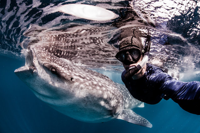 Model, skydiver and wing-suit jumper Roberta Mancino, 33, swims with a whale shark on February 2014 in Isla Mujeres, Mexico. A female skydiver swims with whale sharks, manta rays and sailfish – the fastest fish in the sea. Model, skydiver and wing-suit jumper Roberta Mancino, 33, jumped from a boat into the ocean surrounding Isla Mujeres near the northern Peninsula of Mexico. The incredible project involved two trips to the stormy winter seas – one in February 2013 and one a year later in February 2014. (Photo by Shawn Heinrichs/Barcroft Media)