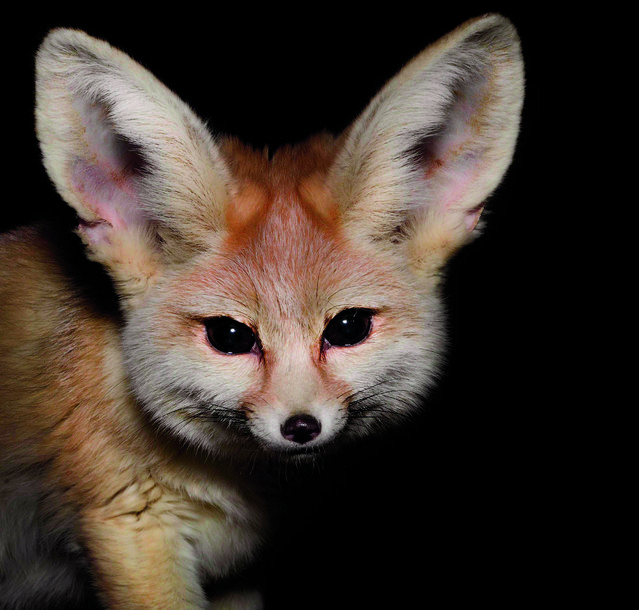 Although the fennec fox is the smallest of all fox species, it boasts the largest ears, relatively speaking. Beyond making these tiny, Chihuahua-sized foxes inimitably adorable, those big ears help the animals dissipate body heat. The Saharan fennec fox is the national animal of Algeria, and is a nocturnal hunter of rodents, insects, birds and eggs. It burrows underground during the heat of the day. (Photo by Traer Scott/Chronicle Books)