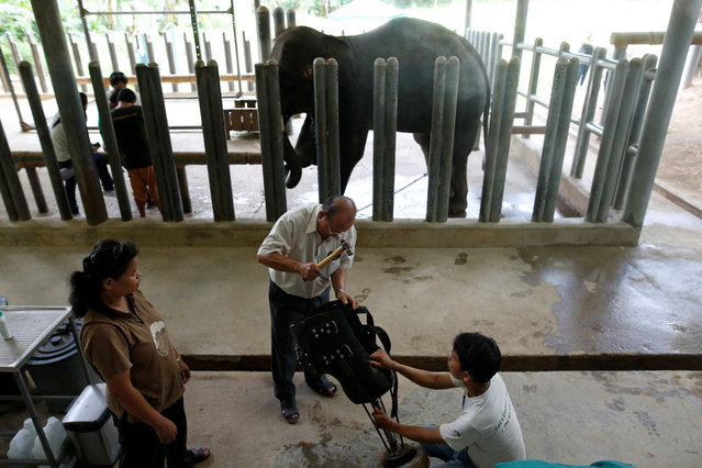 Engineer Boonyu Thippaya (C) and a member of his team adjust a prosthetic leg for an elephant, that was injured by a landmine, at the Friends of the Asian Elephant Foundation in Lampang, Thailand, June 29, 2016. (Photo by Athit Perawongmetha/Reuters)