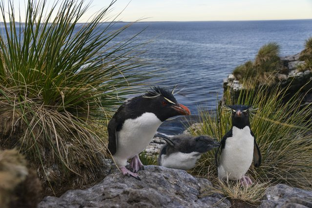 A family of Rockhopper penguins nests at the top of the island's north-facing cliffs on Thursday, February 11, 2016, in Kidney Island, Falkland Islands. The rockhopper penguin is the smallest but most agile of the Falkland penguins. (Photo by Jahi Chikwendiu/The Washington Post)