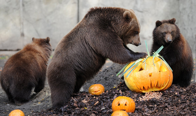 """Bear """"Mascha"""" (C) and her babies Misho (R) and Wanja (L) inspect pumpkins on October 28, 2011 at the Hagenbecks Tierpark zoo in Hamburg, northern Germany. Suited to the upcoming Halloween holiday, the animals' enclosure is decorated with pumpkins and delights bears and visitors. (Photo by Daniel Bockwoldt/AFP Photo)"""