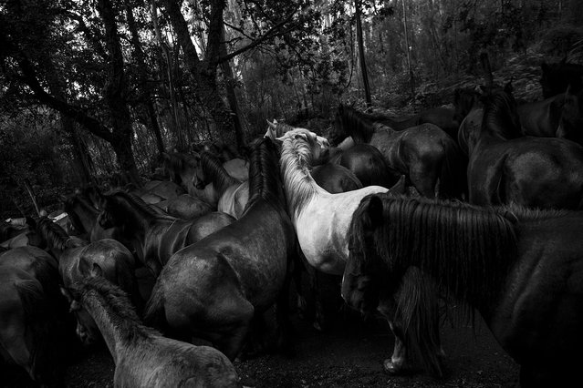 """The Wild Magic"". Throughout Galicia, in northern Spain, is fulfilled the annual ritual of cutting the tails of wild horses that live free in the mountains. But is in the village of Sabucedo that the tradition of ""Rapa das Bestas"" gains strength as international event with the attendance, every summer, of hundreds of fans and curious of this ""magic party"". Photo location: Sabucedo, Galiza, Spain. (Photo and caption by Daniel Rodrigues/National Geographic Photo Contest)"