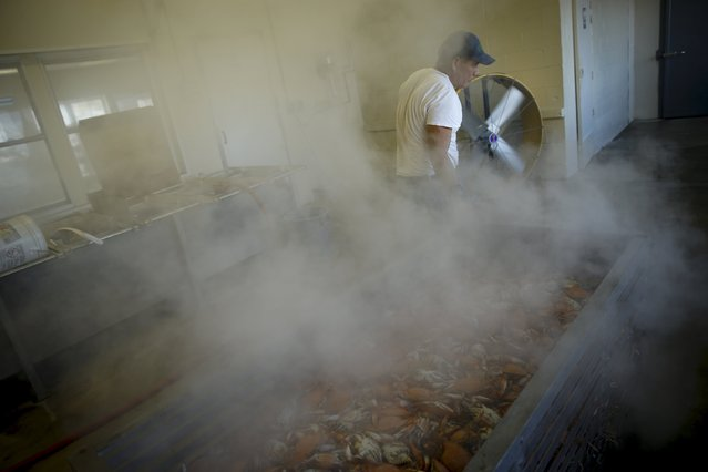 A worker unloads a carriage of cooked crabs from a large pressure steamer at the A.E. Phillips & Son Inc. crab picking house on Hooper's Island in Fishing Creek, Maryland August 26, 2015. The crabs will be chilled overnight before the meat is picked the next morning by guest workers who make up the picking house's primary workforce during the April-November season each year. (Photo by Jonathan Ernst/Reuters)