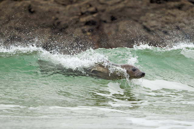 I) Highly commended – Tim Hunt. Surfing seal – This surfing seal was taken at Godrevy on the north coast of Cornwall. It shows interesting behaviour that I have never seen before. I preempted this was going to happen as it was showing signs of being playful, so I stayed even longer to see if it would do what I was hoping it would do.