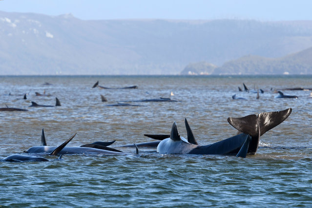Pilot whales lie stranded on a sand bar near Strahan, Australia, Monday, September 21, 2020. An estimated 250 whales are stuck on sandy shoals and government marine conservation staff have been deployed to the scene to attempt to rescue the whales. (Photo by Brodie Weeding/Pool Photo via AP Photo)