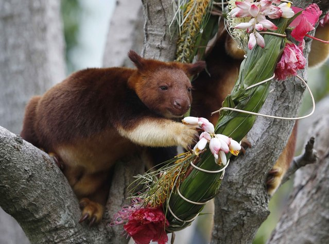 A tree kangaroo reaches out to eat some flowers that are part of a Christmas-themed wreath, during feeding time at Sydney's Taronga Park Zoo, December 9, 2014. The tree kangaroos are native to the rainforests of New Guinea and far northern Queensland in Australia. (Photo by Jason Reed/Reuters)