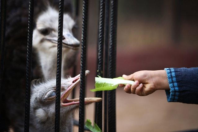 An African ostrich is fed at the Giza zoo in Cairo on December 10, 2014. Khedive Ismail, the ruler of Egypt from 1863-1879, built the zoo and planned the opening to coincide with the inauguration of the Suez Canal in 1869 but was not able to do so in time. (Photo by Mohamed El-Shahed/AFP Photo)