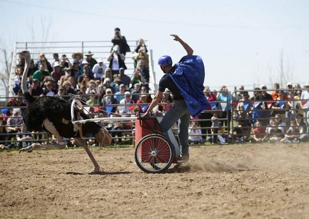 Dustin Murley raises his hand as he races his ostrich during the annual Ostrich Festival in Chandler, Arizona March 10, 2013. (Photo by Joshua Lott/Reuters)