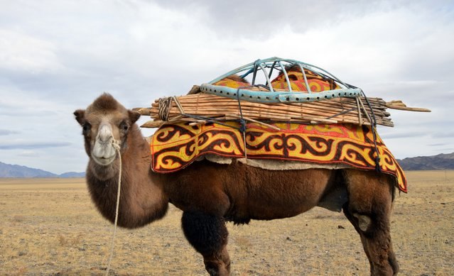 A camel carries the wooden gram for a ger, or yurt. (Photo by Brad Ruoho/The Star Tribune)