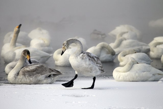 Swans gather on a partially ice-covered lake, with the air temperature at about minus 35 degrees Celsius (minus 31 degrees Fahrenheit) as steam ascends above the water near the village of Urozhainy, Sovetsky district of Altai region, January 26, 2015. About 600 swans annually migrate to the lake, which is heated by warm springs, where they spend their winter being fed by yagers, which helps them to survive the severe cold. (Photo by Andrei Kasprishin/Reuters)