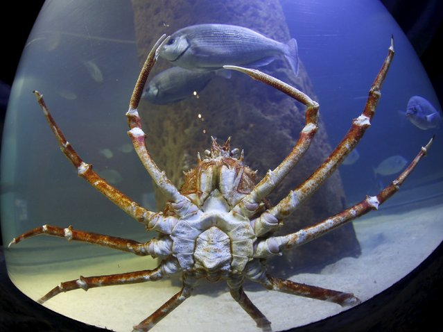 A giant Japanese spider crab crawls along the side of its tank at the Malta National Aquarium in Qawra, outside Valletta, Malta, December 19, 2015. (Photo by Darrin Zammit Lupi/Reuters)