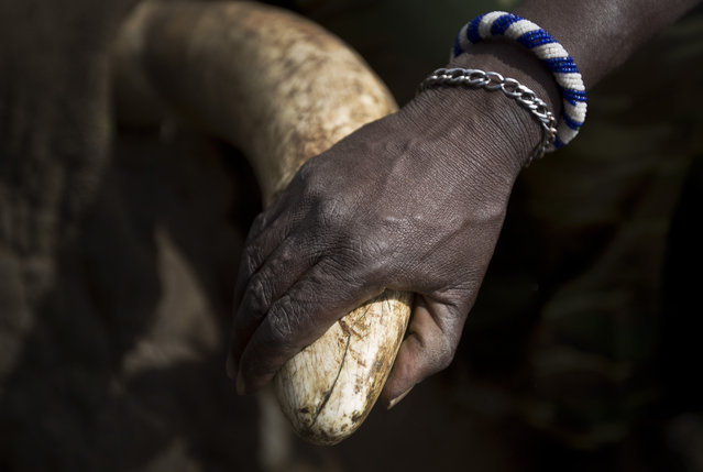 A local Maasai tribesman places his hand on the tusk of a tranquilized wild elephant during an anti-poaching elephant-collaring operation near Kajiado, in southern Kenya, Tuesday, December 3, 2013. (Photo by Ben Curtis/AP Photo)