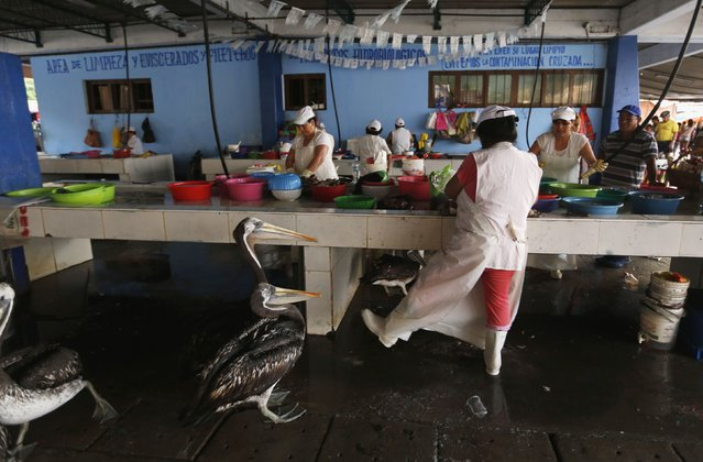 A woman attempts to scare away pelicans, to prevent them from eating the leftovers of cut up fish, at a market in Chorrillos municipality in Lima, February 11, 2015. (Photo by Mariana Bazo/Reuters)