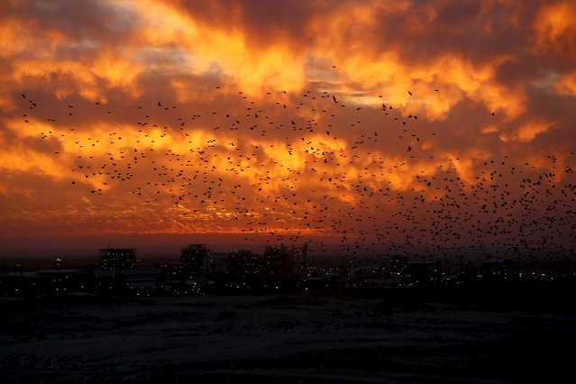 Migrating starlings fly in the sky near the industrial area of Ne'ot Hovav in southern Israel December 28, 2015. (Photo by Amir Cohen/Reuters)