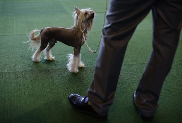A Chinese Crested dog looks up at his handler during judging in the Toy Group at the139th Westminster Kennel Club's Dog Show in the Manhattan borough of New York February 16, 2015. (Photo by Mike Segar/Reuters)
