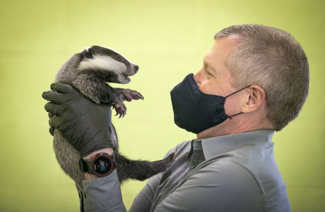 Scottish Liberal Democrat leader Willie Rennie handles a six-week-old badger during a visit to the SSPCA National Wildlife Rescue Centre at Fishcross near Alloa, during campaigning for the Scottish Parliamentary election. Picture date: Saturday April 3, 2021. (Photo by Jane Barlow/PA Images via Getty Images)