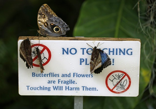 Common Blue Morpho butterflies land on a no-touch warning sign as they and hundreds of other butterflies from around the world fill the bird aviary for the next month at the San Diego Zoo Safari Park in San Diego, California March 13, 2015. (Photo by Mike Blake/Reuters)