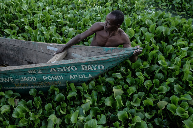 This photograph taken on October 2, 2018, shows a man pulling a boat through water hyacinth which prevents fishermen from working on Lake Victoria at Kichinjio beach in Kisumu, western Kenya. (Photo by Yasuyoshi Chiba/AFP Photo)