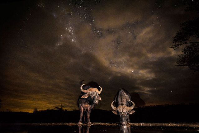 Water buffalo have a drink at the watering hole. (Photo by Brendon Cremer/Caters News)