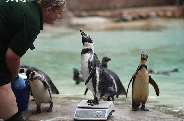 A penguin reacts with a zoo keeper as it stands on weighing scales for the Zoo's annual weigh in, in London, August 23, 2018. Home to more than 19,000 animals in their care, 800 different species, zookeepers regularly record the heights and weights of all the creatures at ZSL London Zoo as a key way of monitoring the residents' overall wellbeing. (Photo by Frank Augstein/AP Photo)