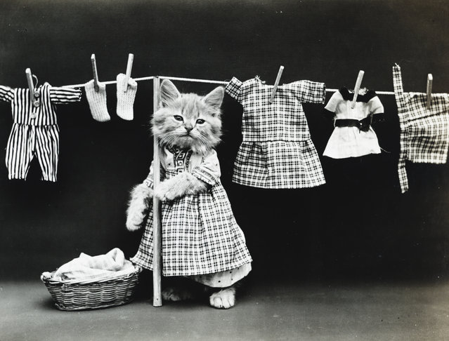 Photograph shows a kitten wearing a dress and hanging clothes on a clothesline, 1914. (Photo by Harry Whittier Frees/Library of Congress)