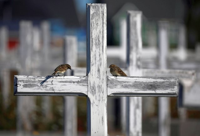 Sparrows sit at a wooden cross at a graveyard in Nuuk, Greenland, September 5, 2021. (Photo by Hannibal Hanschke/Reuters)