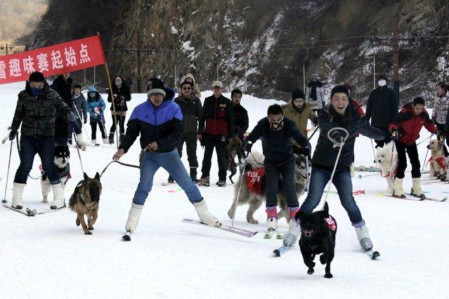 This picture taken on January 12, 2014 shows pets and their owners competing in a skiing competition in Sanmenxia, north China's Henan province. (Photo by AFP Photo)