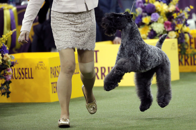 A Blue Terrier leaps as it is run in the ring during competition in the Terrier Group at the 141st Westminster Kennel Club Dog Show at Madison Square Garden in New York City, U.S., February 14, 2017. (Photo by Mike Segar/Reuters)