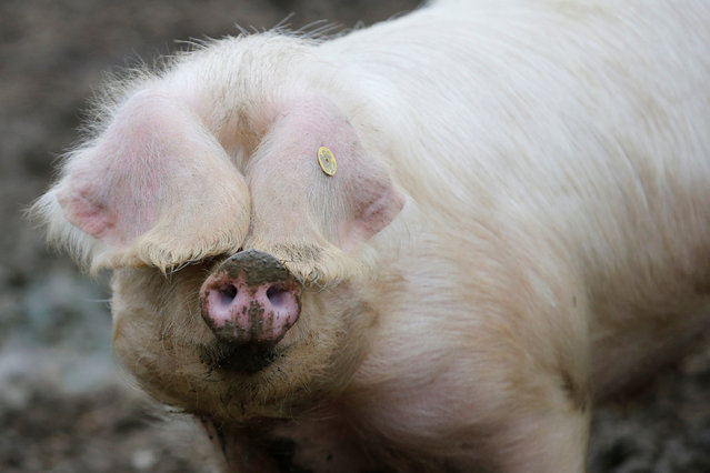 A pig, of the Porcs Blancs de l'Ouest race, is seen February 21, 2017 at a farm in Plesse, France, ahead of the 2017 Paris International Agricultural Show. (Photo by Stephane Mahe/Reuters)